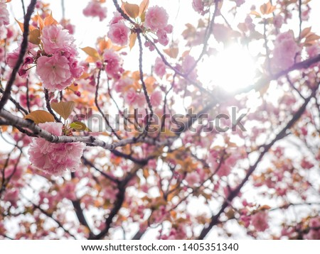 Cherry blossom tree or Prunus serrulata full blooming in Japan local park, Sakura Flowers (Kanzan) branch in spring time. #1405351340