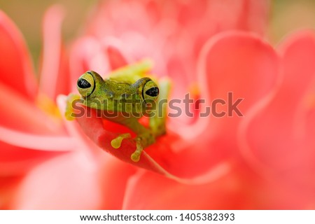 Teratohyla spinosa, Spiny Glass Frog, tinny amphibian with red flower, in nature habitat. Frog from Costa Rica, tropic forest. Beautiful animal in jungle, exotic animal from South America. Eye detail. #1405382393