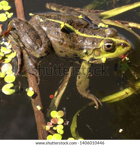 Macro photo nature amphibious marsh frog. The animal Green Toad sits on in water. Texture background frog toad on the water surface #1406010446