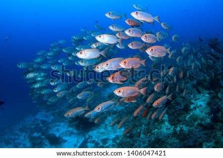 A shoal of schooling red silver big eye fish in a dense formation in the clear blue water on a scuba dive in Raja Ampat, Indonesia ... diving holidays at its best #1406047421