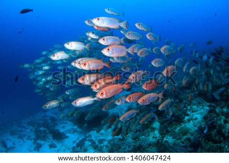 A shoal of schooling red silver big eye fish in a dense formation in the clear blue water on a scuba dive in Raja Ampat, Indonesia ... diving holidays at its best #1406047424