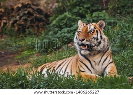 the tiger imposingly lies on emerald grass and rests, Beautiful powerful big tiger cat (Amur tiger) on the background of summer green grass and stones. #1406265227