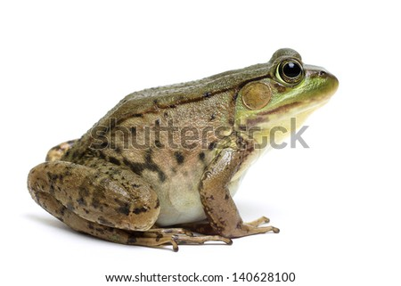Green frog (Rana clamitans) #140628100