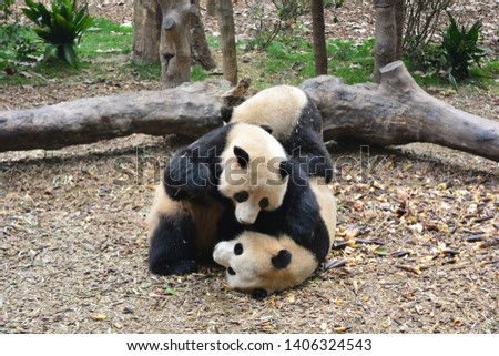 Two giant pandas fighting at a forest of Chengdu, China #1406324543