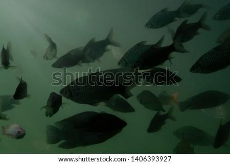Tilapia Fish that swim in turbid fresh water with effect light. #1406393927