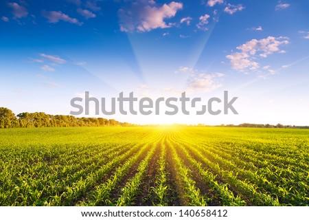 Corn field Royalty-Free Stock Photo #140658412