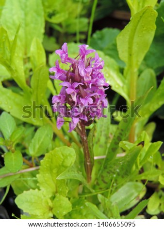 Dactylorhiza maculata, known as the heath spotted-orchid or moorland spotted orchid. A terrestrial type of orchid with characteristic stained, spotted leaves. Poland, Europe #1406655095