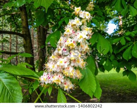 Chestnut tree blossom in spring. Spring blooming chestnut blossom. Spring chestnut tree blossom view #1406802242