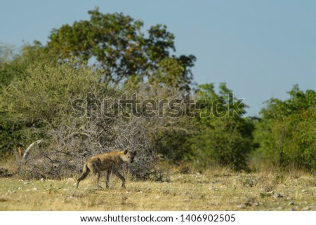 Spotted Hyena - Crocuta crocuta, picture of powerfull African carnivore in Etosha National Park, Namibia.