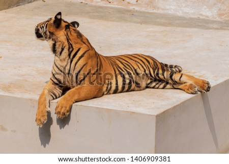 The great male tiger that does not live naturally,lying on the cement floor,Showing various gestures. #1406909381