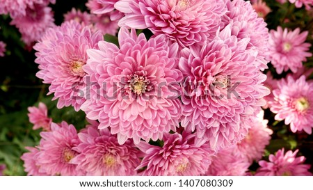 A close up photo of a bunch of dark pink chrysanthemum flowers with yellow centers and white tips on their petals. Chrysanthemum pattern in flowers park. Cluster of pink purple chrysanthemum flowers. #1407080309