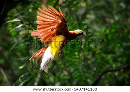 the beauty of the bird of paradise - cendrawasih Royalty-Free Stock Photo #1407141188