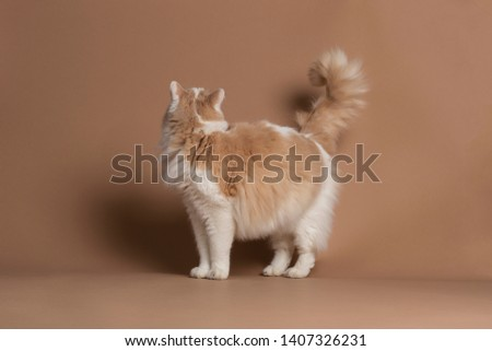 Turkish van cat isolated and standing in front of a brown background not looking into the camera, looking away #1407326231