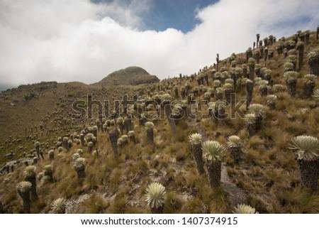 Frailejon landscape at Oceta's Paramo. Boayaca, Colombia V #1407374915