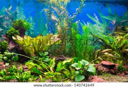 Interior aquarium. A green plant tropical freshwater aquarium