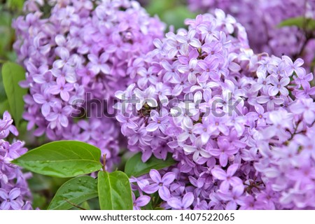 Beautiful lilac flowers with selective focus. Purple lilac flower with blurred green leaves. Spring blossom. Blooming lilac bush with tender tiny flower. Purple lilac flower on the bush. Summer time  Royalty-Free Stock Photo #1407522065