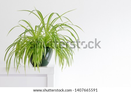 houseplant, Chlorophytum comosum in front of a light wall in a green pot #1407665591