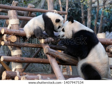 Panda mother and cub at Chengdu Panda Reserve (Chengdu Research Base of Giant Panda Breeding) in Sichuan, China. Two pandas looking at each other. Subject: Pandas, Cub, Reserve, Chengdu. #1407947534