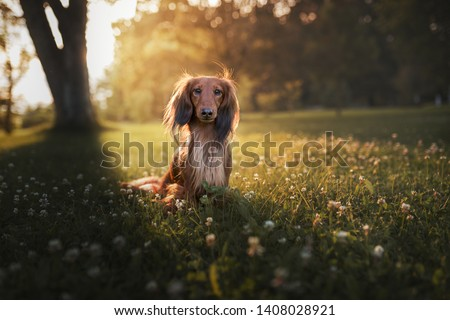 Longhair dachshund in flowers. Dachshund in backlight. Small dog in park. Cute pets.