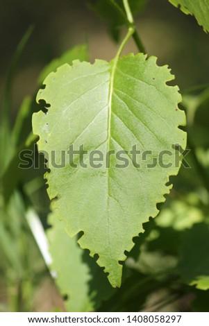 Green lilac leaf eaten by weevil. Weevil feeding damage on foliage of Syringa vulgaris #1408058297
