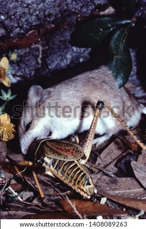 Northern Grasshopper Mouse (Onychomys Leucogaster) #1408089263