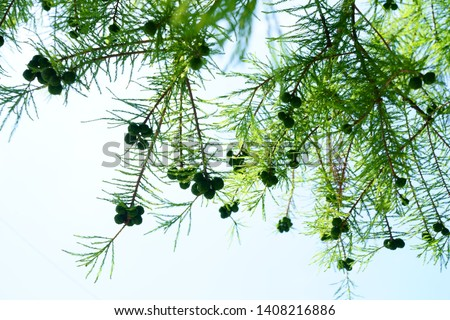 Taxodium distichum having fruits in japanese summer #1408216886