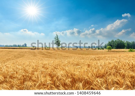 Yellow wheat field and blue sky #1408459646