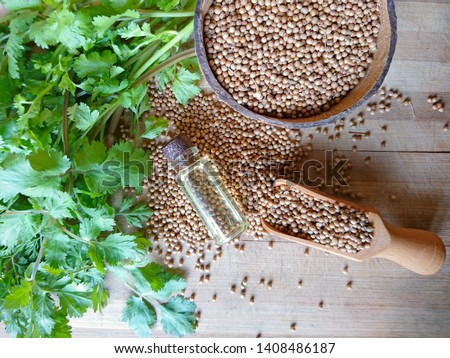 Coriander essential oil & coriander seeds heap, green cilantro leaves on wooden background. Organic dry coriander seeds oil in glass bottle for aromatherapy, good health, massage closeup view. Dhaniya #1408486187