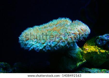 Turbinaria Pagoda coral in reef aquarium tank #1408492163