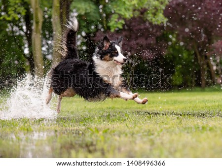 Australian Shepherd Dog playing on green grass at park. Happy wet Aussie run on watery meadow after rain, water sprinkles. Dog have fun in puddle at outdoors. #1408496366
