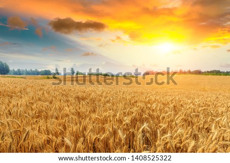 Wheat crop field sunset landscape #1408525322