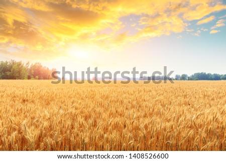 Wheat crop field sunset landscape #1408526600