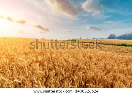 Wheat crop field sunset landscape #1408526624