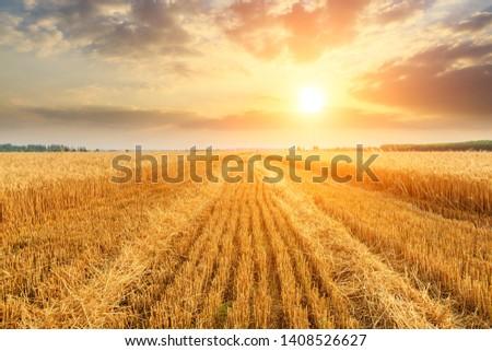 Wheat crop field sunset landscape #1408526627
