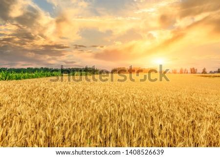 Wheat crop field sunset landscape #1408526639