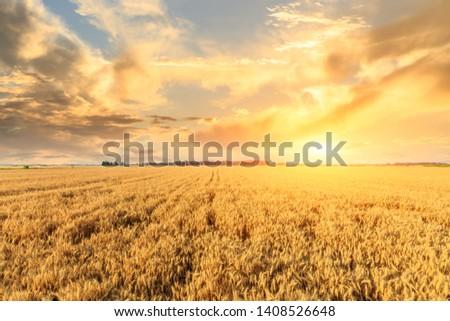 Wheat crop field sunset landscape #1408526648