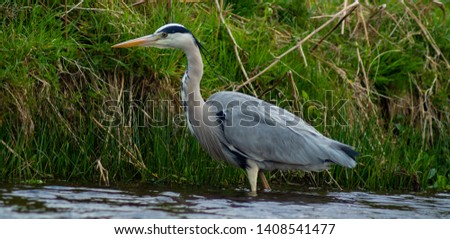 Large Grey Heron, Ardeidae, Single Bird Close Up, eyeline low angle view, searching for food, fishing, on riverbank #1408541477