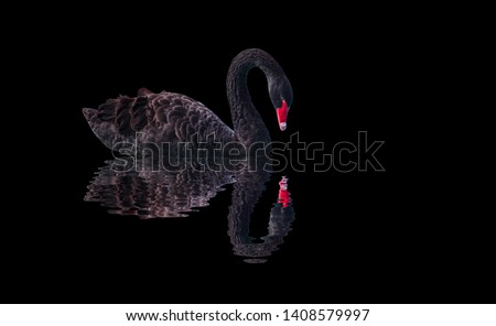 Black swan isolated  on black background (Cygnus atratus) Royalty-Free Stock Photo #1408579997
