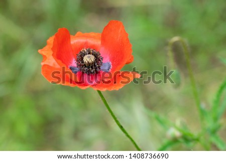 isolated close up red flower of poppy #1408736690