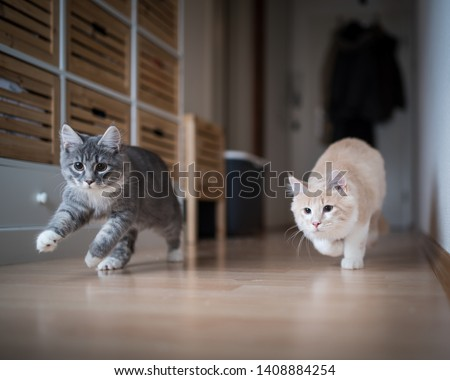 two maine coon kittens playing indoors running through corridor chasing the red dot of a laser pointer #1408884254