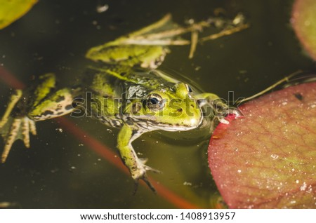 Frog. A frog in water near water lily leaves. Frog in the conditions of the nature #1408913957