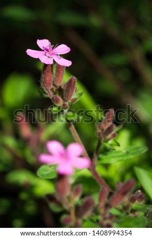 The rock soapwort (lat. Saponaria ocymoides) of the Caryophyllaceae family. #1408994354