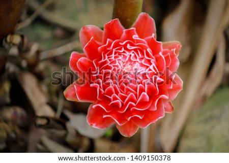 Etlingera elatior, Torch ginger close up #1409150378
