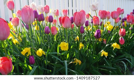 Tulips and Daffodils in front of a white fence in Maine, USA #1409187527