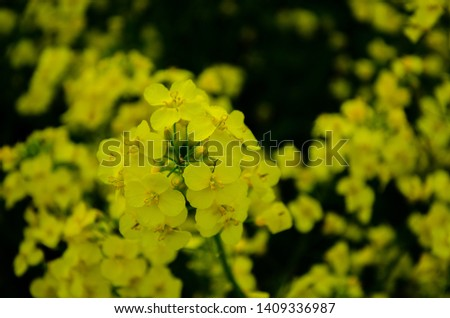 A Rapeseed flower shows its beauty #1409336987