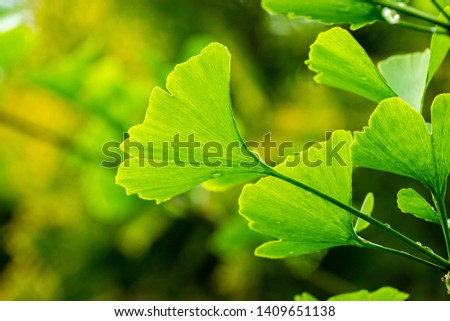 Close-up brightly green leaves of Ginkgo tree (Ginkgo biloba), known as ginkgo or gingko in soft focus against background of blurry foliage. The natural light of sunny day. Nature concept for design #1409651138