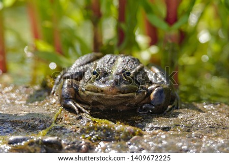 Green frog sunbathing on a sunny day in the pond #1409672225