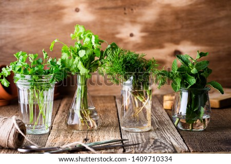 Selection of fresh homegrown organic culinary and aromatic herbs plant in glass jars on wooden background, home gardening, close up, selective focus. Cilantro, parsley, dill, mint #1409710334