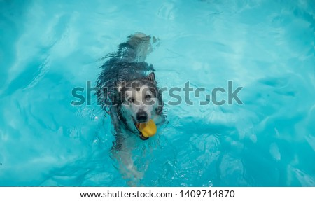 Cute Dog Sybian  Huggie Exercise  Swimming in the Pool #1409714870