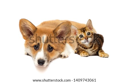 little kitty and welsh corgi puppy looking #1409743061